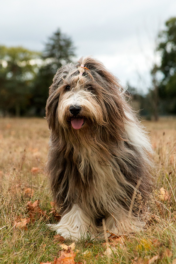 Penny bearded collie 13½ years old