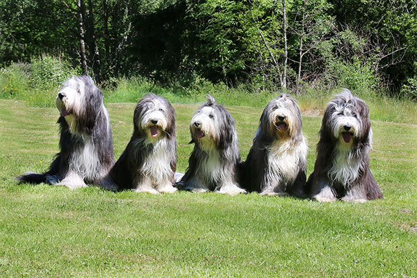 MIllieville bearded collie- valpträff